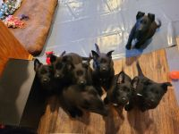 German Shepherd Puppies for sale in Plainville, CT 06062, USA. price: NA