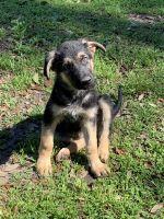 German Shepherd Puppies for sale in Ocala, FL, USA. price: NA