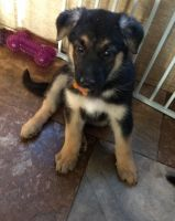 German Shepherd Puppies for sale in Woodlawn, IL 62898, USA. price: NA