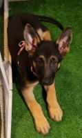 German Shepherd Puppies for sale in Trenton, NJ, USA. price: NA