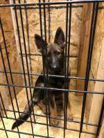 German Shepherd Puppies for sale in 12841 Pierce Pl NE, Blaine, MN 55434, USA. price: NA
