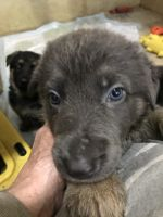 German Shepherd Puppies for sale in Livingston, TX 77351, USA. price: NA