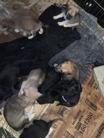 German Shepherd Puppies for sale in Elizabethtown, KY, USA. price: NA