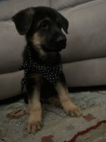German Shepherd Puppies for sale in Miami, FL, USA. price: NA