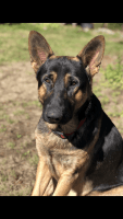 German Shepherd Puppies for sale in Randle, WA 98377, USA. price: NA