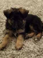 German Shepherd Puppies for sale in Columbia City, IN 46725, USA. price: NA