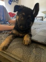 German Shepherd Puppies for sale in Greeley, CO, USA. price: NA