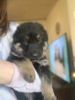 German Shepherd Puppies for sale in Brumley, MO 65017, USA. price: NA