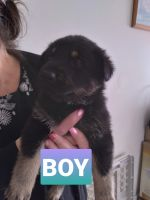 German Shepherd Puppies for sale in Lafayette, IN, USA. price: NA