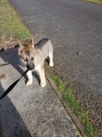 German Shepherd Puppies for sale in Kent, WA, USA. price: NA