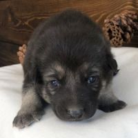 German Shepherd Puppies for sale in CA-1, Long Beach, CA, USA. price: NA
