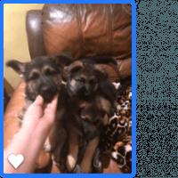 German Shepherd Puppies for sale in Philadelphia, PA 19125, USA. price: NA