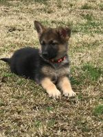 German Shepherd Puppies for sale in Pocahontas, TN 38061, USA. price: NA