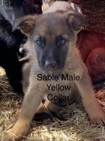 German Shepherd Puppies for sale in Berea, KY, USA. price: NA