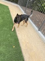 German Shepherd Puppies for sale in San Rafael, CA, USA. price: NA