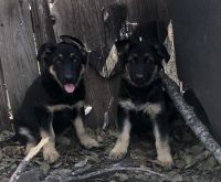 German Shepherd Puppies for sale in 120 Pamela Dr, San Antonio, TX 78223, USA. price: NA