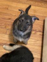 German Shepherd Puppies for sale in Newport News, VA, USA. price: NA