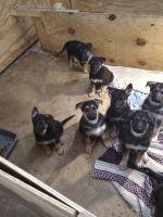 German Shepherd Puppies for sale in Jacksonville, FL, USA. price: NA