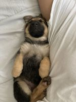 German Shepherd Puppies for sale in 13827 Los Angeles St, Baldwin Park, CA 91706, USA. price: NA