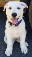 German Shepherd Puppies for sale in Warner Robins, GA, USA. price: NA