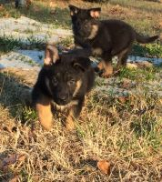 German Shepherd Puppies for sale in Harrison, AR 72601, USA. price: NA