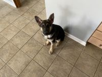 German Shepherd Puppies for sale in Randallstown, MD, USA. price: NA