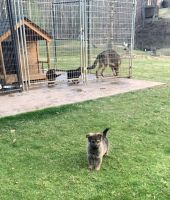 German Shepherd Puppies for sale in Spartanburg, SC, USA. price: NA
