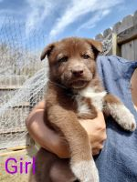 German Shepherd Puppies for sale in Corpus Christi, TX, USA. price: NA