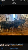 German Shepherd Puppies for sale in Amarillo, TX 79108, USA. price: NA