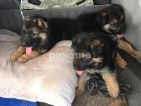 German Shepherd Puppies for sale in NJ-33, Hamilton Township, NJ, USA. price: NA