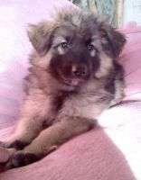 German Shepherd Puppies for sale in Southern California, CA, USA. price: NA