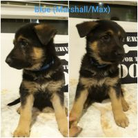 German Shepherd Puppies for sale in Hemet, CA, USA. price: NA