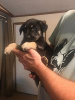 German Shepherd Puppies for sale in Palestine, TX, USA. price: NA
