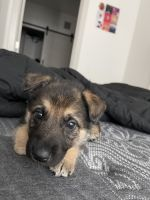 German Shepherd Puppies for sale in Chandler, AZ, USA. price: NA