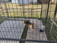 German Shepherd Puppies for sale in Louisville, KY, USA. price: NA