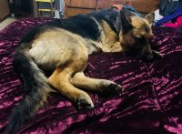 German Shepherd Puppies for sale in Jasonville, IN 47438, USA. price: NA