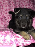 German Shepherd Puppies for sale in Lorain, OH, USA. price: NA