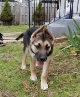 German Shepherd Puppies for sale in Hyattsville, MD, USA. price: NA