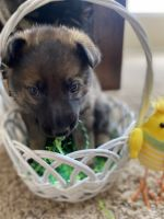 German Shepherd Puppies for sale in Thornton, CO 80602, USA. price: NA