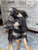 German Shepherd Puppies for sale in Providence, RI, USA. price: NA