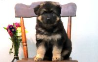 German Shepherd Puppies for sale in Portland, OR 97218, USA. price: NA