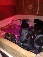 German Shepherd Puppies for sale in Dora, AL, USA. price: NA