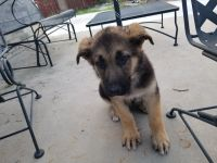 German Shepherd Puppies for sale in North Richland Hills, TX, USA. price: NA