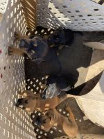 German Shepherd Puppies for sale in Rancho Cucamonga, CA 91730, USA. price: NA