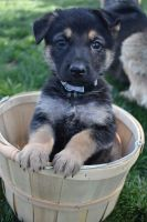 German Shepherd Puppies for sale in Lockwood, CA, USA. price: NA