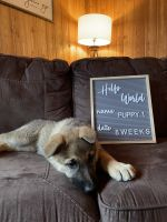 German Shepherd Puppies for sale in Grand Rapids, MN 55744, USA. price: NA