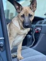 German Shepherd Puppies for sale in Atlanta, GA, USA. price: NA