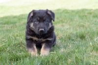 German Shepherd Puppies for sale in Simpsonville, KY 40067, USA. price: NA