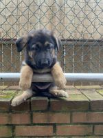 German Shepherd Puppies for sale in Ridgefield, NJ 07657, USA. price: NA