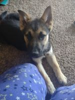 German Shepherd Puppies for sale in Pocatello, ID 83201, USA. price: NA